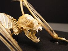 The image depicts a vampire bat skeleton, with particular visual emphasis on the skull.