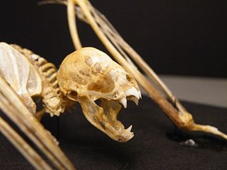 Vampire bat - A vampire bat skeleton, showing the distinctive incisors and canines