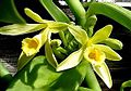 Vanilla planifolia112686509.jpg