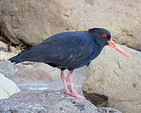 Variable Oystercatcher.jpg