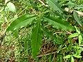 Vepris lanceolata, saamgestelde blaar, Skeerpoort.jpg