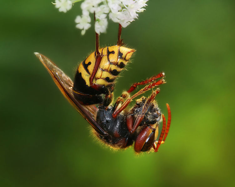 File:Vespa crabro germana with prey Richard Bartz Crop.jpg