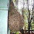 Vespa tropica nest.jpg