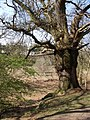 Veteran Oak - Rendlesham Forest - geograph.org.uk - 397757.jpg