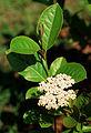Viburnum nudum flowers.jpg