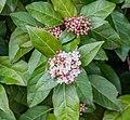 Viburnum tinus in Gard.jpg