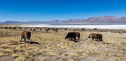 Vicuñas (Vicugna vicugna), Laguna de Salinas, Arequipa, Perú, 2015-08-02, DD 42.JPG