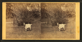 View of a goat, from Robert N. Dennis collection of stereoscopic views.png