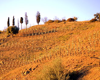 Carignan - Old bushvine plantings of Carignan can be found in the Priorat region (vineyard pictured) of Catalonia