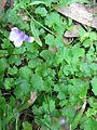 Viola banksii leaf3 - Flickr - Macleay Grass Man.jpg