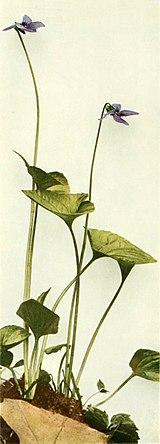 Viola cucullata WFNY-138B.jpg