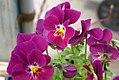 Viola tricolor Ultima Baron Merlot 0zz.jpg