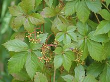 Virginia creeper Parthenocissus quinquifolia 169.JPG
