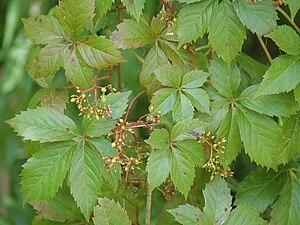 Parthenocissus quinquefolia - Image: Virginia creeper Parthenocissus quinquifolia 169