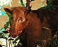 WLA hmns Giant Forest Hog.jpg