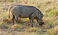 Warthog (Phacochoerus africanus) (6817340289).jpg