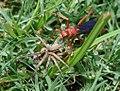 Wasp-Spider Hunting.jpg