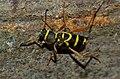 Wasp Beetle (Clytus arietis) (9084053277).jpg