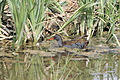 Water Rail & Snake - Rutland Water (4563570355).jpg