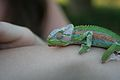 Wee lizard (6649544719).jpg