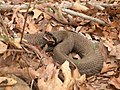 Western Cottonmouth Snake (6846530923).jpg