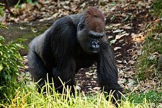Western gorilla - A male western gorilla at Melbourne Zoo.