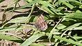 Western Pine Elfin (Callophrys eryphon) (8904712966).jpg