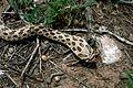 Western hognose snake heterodon nasicus.jpg
