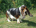 Wet Basset hound.jpeg
