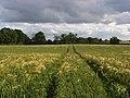 Wheat, Chaddleworth - geograph.org.uk - 875517.jpg