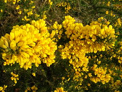 Whin or Gorse.JPG