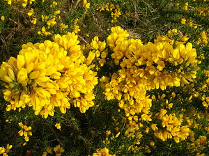 Ulex - In full flower at Dalgarven Mill in Scotland.