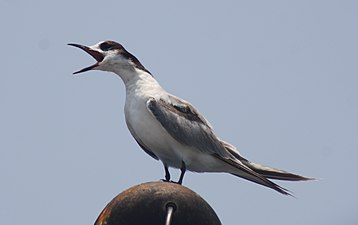 Whiskered tern from Ponnani coast IMG 0690.JPG