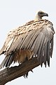 White-backed Vulture, Gyps africanus, at Kgalagadi Transfrontier (46112753602).jpg