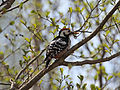 White-backed Woodpecker (3529143442).jpg