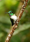 White-bellied Mountain-gem (Oreopyra hemileucus)