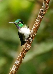 White-bellied Mountain-gem (Oreopyra hemileucus).jpg