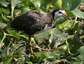 White-breasted Waterhen I IMG 1027.jpg