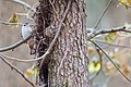 White-breasted nuthatch (19169481959).jpg