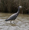 White-faced Heron 3 (30915030573).jpg