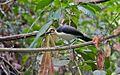White-necked Rockfowl (Picathartes gymnocephalus).jpg
