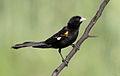 White-winged widowbird, Euplectes albonotatus, male, at Dinokeng Game Reserve, Gauteng-Limpopo, South Africa (16381102481).jpg