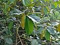 White Seraya (Parashorea macrophylla) (15340103479).jpg