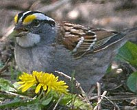 White Throated Sparrow (4579779246).jpg