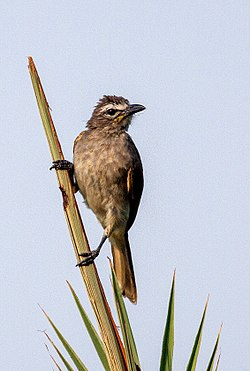 White browed bulbul-4E (cropped).jpg