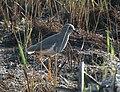 White tailed lapwing 2.jpg