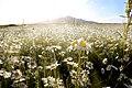 Wild chamomiles and beautiful mountain view in Armenia.jpg