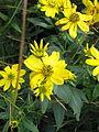 Wildflowers Elk Knob NC SP 0980 (3774192632).jpg