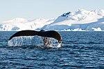 Wilhelmina Bay Antarctica Humpback Whale 10 (47336660641).jpg