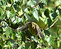 Willow Warbler, Taking off (9635377725).jpg